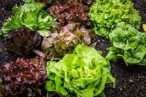 salad, salad plant, lettuce